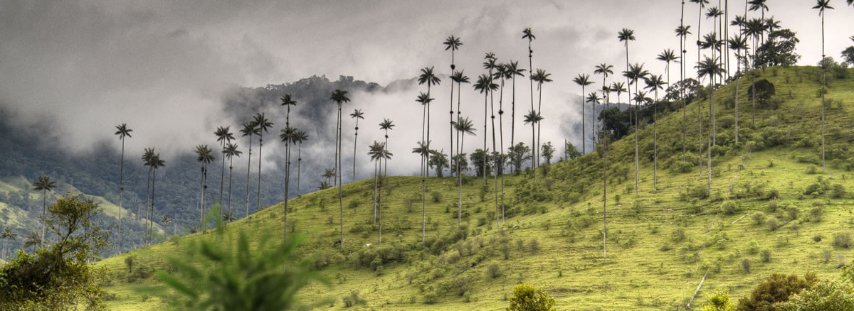 Colombia. Valle De Cocora. Parque Nacional Los Nevados