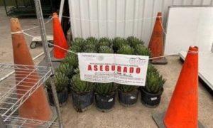 Asegura Profepa 34 ejemplares de Agave Noa, comercializado de manera irregular en vivero de Nuevo León